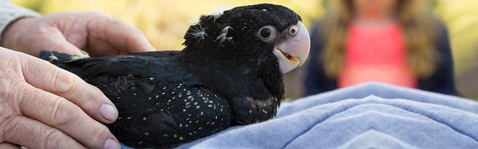 Baby black cockatoo