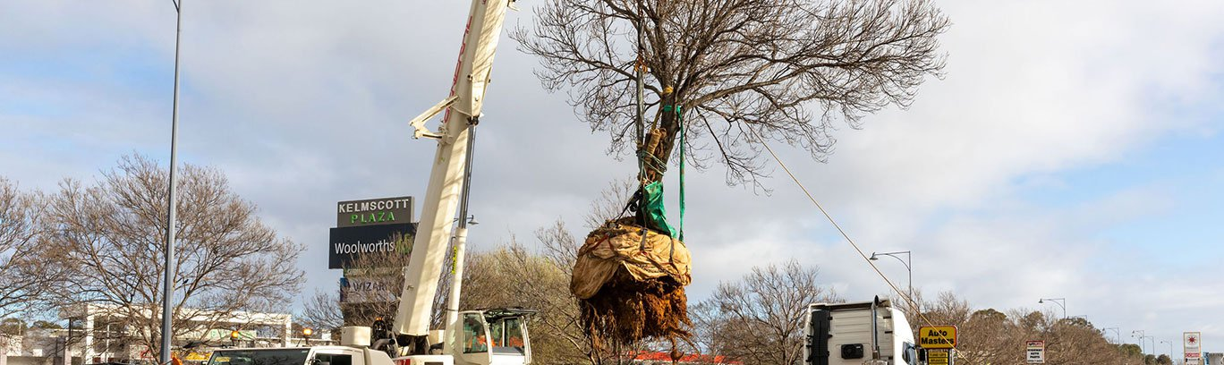 Tree being relocated by a crane